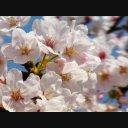 桜映像素材.3