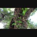 ジャングル / ツタが巻き付いた木2【1080p】MMD背景などに