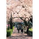 花見で賑わう川辺の桜