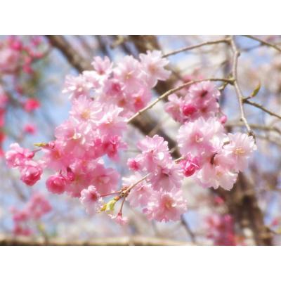 桜(京都哲学の道~インクラインまでの桜)