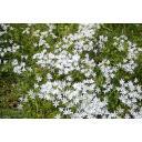 白い花01