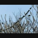 野鳥シリーズ・・・・鈴なりのスズメ