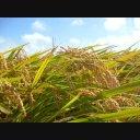 稲が揺れる映像
