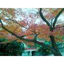 曇り空の紅葉