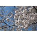 青空と桜②