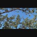 【1080/60p】風に揺れるクロマツ(28秒/音声無し)