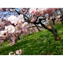【八重桜】4:3・2560x1920px