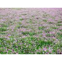 レンゲ畑1