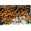 【木に】Scutellinia sp.【びっしり】