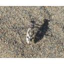 【鳥取砂丘の生物】カワラハンミョウ