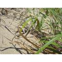 鳥取砂丘の草地に紛れるヤマトマダラバッタ