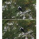 木にとまるカラスセット