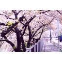 飯田橋のさくら並木