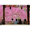 桜シリーズ005 平野神社の枝垂れ桜