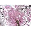 桜シリーズ006 下から見上げた枝垂れ桜