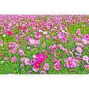 無数のコスモスの花