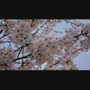 風を受ける桜2
