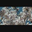満開の桜2(HD)