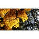 黄色い紅葉と松