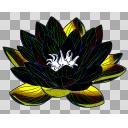 黒い蓮(ハス・・・タ)の花