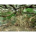 もじゃもじゃの木