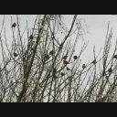 野鳥シリーズ 梅にウグイスならぬ梅にスズメ