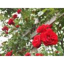 赤い薔薇のある風景