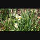 春の花4点(スイセン、フクジュソウ、セツブンソウ、ザゼンソウ)