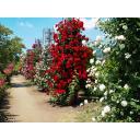 薔薇園(長野県中野市一本木公園)