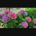 【動画素材】紫陽花 ループ 3
