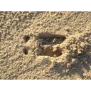 鳥取砂丘 イノシシの足跡