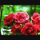 バラ(薔薇)10 動画素材