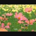コスモス(秋桜)01 動画素材