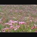 コスモス(秋桜)05 動画素材