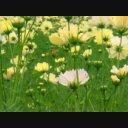 コスモス(秋桜)08 動画素材
