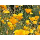 黄色い花菱草(カリフォルニアポピー)