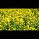 【背景動画】風に揺れる菜の花 4K動画素材