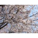 桜花-04