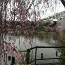 千葉公園の桜②