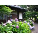 紫陽花と旧秋元別邸