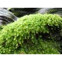 水滴る苔 -屋久島の森にてー