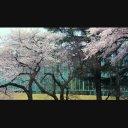 桜吹雪 【Fix】