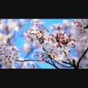 桜のアップ映像