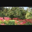 秋の風物詩(彼岸花と栗の木)